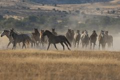 Wild Horses Running. Herd of wild horses running in the Utah desert Royalty Free Stock Photo