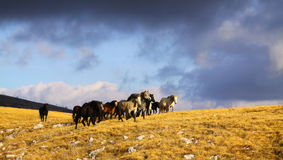 Wild horses running on montain, clouds in the background Royalty Free Stock Image