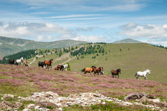 Wild horses running on mountain pasture. Green mountain landscape in Romania with free wild horses running on a blooming meadow Stock Photography