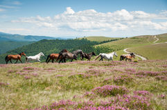 Wild horses running on mountain pasture Royalty Free Stock Images
