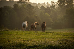 Wild horses running in the mountains at sunrise. A group of wild horses running at sunrise in the mountains Royalty Free Stock Image