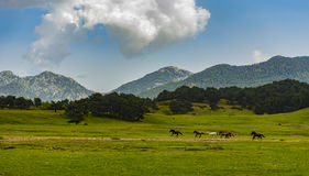 Wild horses running in nature Royalty Free Stock Image