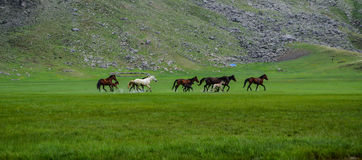 Wild horses running in nature Stock Photography