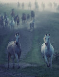 Wild horses running through the rular path Stock Photography