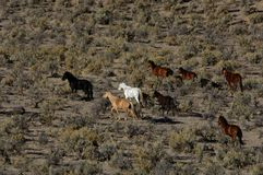 Wild horses running through sagebrush Stock Images