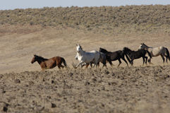 Wild horses running through sagebrush. In eastern washington Stock Images
