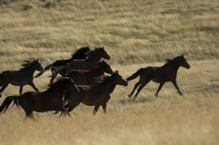 Wild horses running in tall grass Royalty Free Stock Images