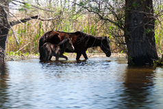 Wild horses in sage. Two young wild horses in Danube Delta Royalty Free Stock Photo