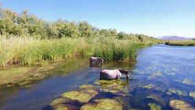 Wild Horses @ Salt River (Rio Salado) Arizona. Two wild horses in the Salt River (Rio Salado) in Arizona stock video footage