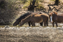Wild Horses on the Salt River, Tonto National Forest Royalty Free Stock Images