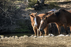 Wild Horses on the Salt River, Tonto National Forest Royalty Free Stock Photography