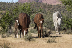 Wild Horses on the Salt River, Tonto National Forest Stock Photos