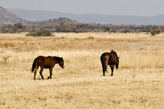 Wild horses on savannah Royalty Free Stock Photo