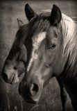 Wild Horses Sepia. Black and white/sepia of two bay horses in a pasture Stock Images