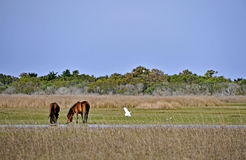 Wild Horses at Shackleford Banks Royalty Free Stock Photos