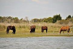 Wild Horses at Shackleford Banks Royalty Free Stock Photography