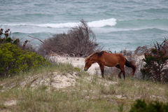 The wild horses of Shackleford Banks. The Wild mustangs of Shackleford Banks, North Carolina royalty free stock image
