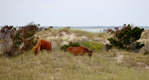 The wild horses of Shackleford Banks. The Wild mustangs of Shackleford Banks, North Carolina stock photo
