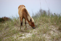 The wild horses of Shackleford Banks. The Wild mustangs of Shackleford Banks, North Carolina royalty free stock photo