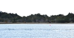 Wild horses on shackleford banks in the outer banks in north carolina stock photos