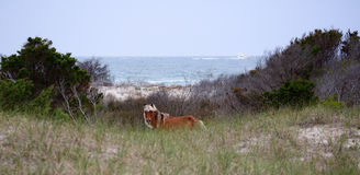 The Wild Horses of Shackleford Banks. Wild Spanish mustangs of Shackleford Banks North Carolina royalty free stock images