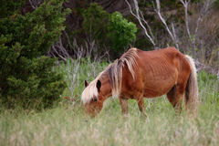 The Wild Horses of Shackleford Banks. Wild Spanish mustangs of Shackleford Banks North Carolina stock images
