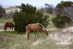 The Wild Horses of Shackleford Banks Stock Image
