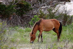 The Wild Horses of Shackleford Banks. Wild Spanish mustangs of Shackleford Banks North Carolina stock photos