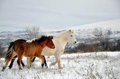 Wild horses. From Shar Mountain Stock Image