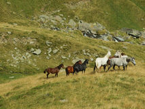 Wild horses. Shot taken in Fagaras, Romania, Europe Stock Images