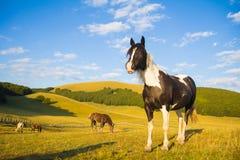Wild horses on Sibillini park Stock Image