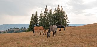 Wild Horses - Small herd with baby foal colt grazing at sunset in the Pryor Mountains Wild Horse Range in Montana USA. Wild Feral Horses - Small herd with baby Royalty Free Stock Photography