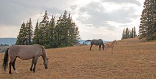 Wild Horses - Small herd band with baby foal colt grazing at sunset in the Pryor Mountains Wild Horse Range in Montana USA. Wild Feral Horses - Small herd band Stock Photo