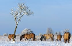 Wild horses in the snow, Holland Royalty Free Stock Photo