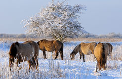 Wild horses in the snow, Holland Royalty Free Stock Image