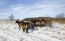 Wild Horses in snowy Danish nature Stock Image