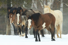 Wild Horses. In the snowy mountains in northern states stock images