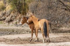 Wild Horses Sparring in the Arizona Desert Stock Image