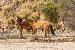 Wild Horses Sparring in the Arizona Desert Royalty Free Stock Image
