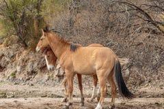 Wild horses Sparring in the Arizona Desert. A pair of wild horses sparring near the salt river in the Arizona desert stock photography