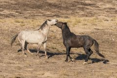 Wild Horses Sparring in the Utah Desert. A pair of wild horse stallions fighting for dominance in the Utah desert Royalty Free Stock Photography
