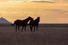 Wild Horses Stallions Silhouetted at Sunset. A pair of wild horse stallions silhouetted in a beautiful Utah desert sunset Stock Images