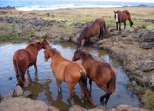 Wild horses at stamping ground. Easter Island Royalty Free Stock Photos