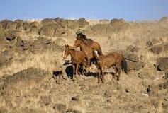 Wild Horses Standing Stock Image