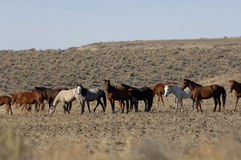 Wild horses standing and feeding Royalty Free Stock Photos