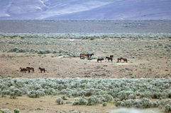 Wild horses standing in sage Stock Photography