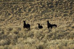 Wild horses standing in sagebrush Royalty Free Stock Photography