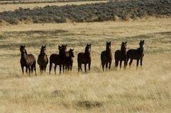 Wild horses standing in tall grass royalty free stock photography