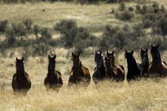 Wild horses standing in tall grass Royalty Free Stock Photos