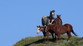 Wild Horses Standing in the Wind Against Blue Sky. In Theodore Roosevelt National Park stock footage